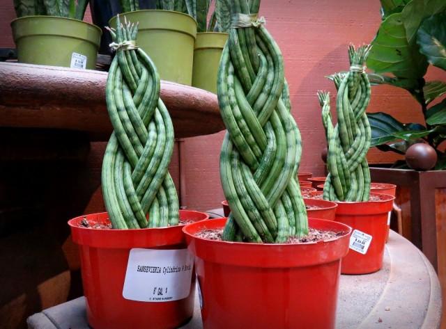 В продаже сегодня все чаще встречается сформированная сансевиерия цилиндрическая – растение с переплетенными между собой побегами