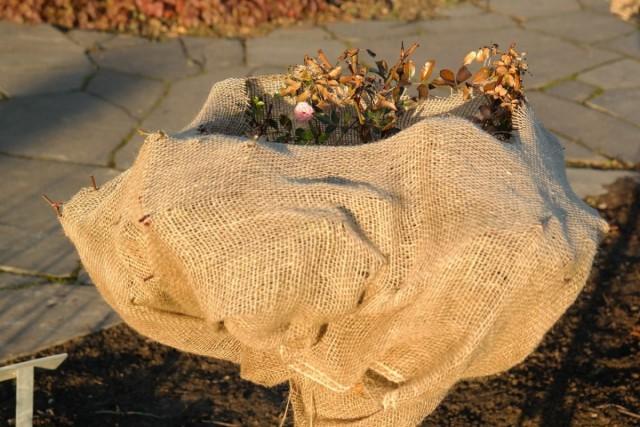 Мероприятия, направленные на то, чтобы защитить растения от перепадов температур, называют повышением зимостойкости