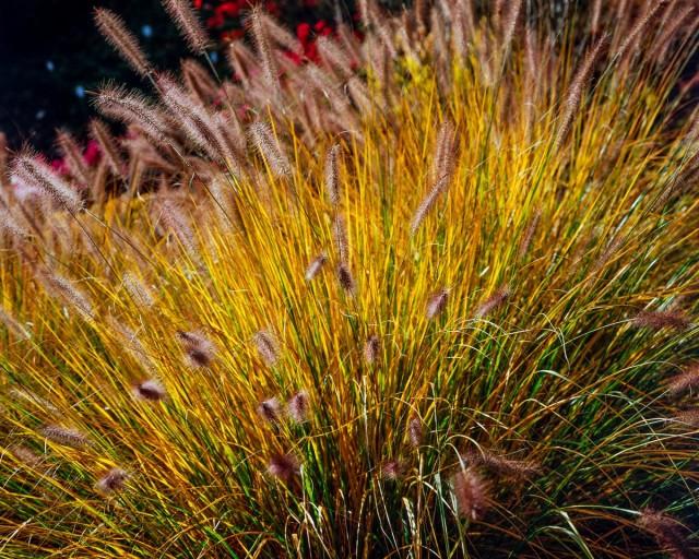 Пеннисетум лисохвостовый (Pennisetum alopecuroides)