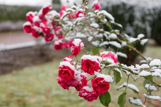 5 простых правил ухода за розами осенью