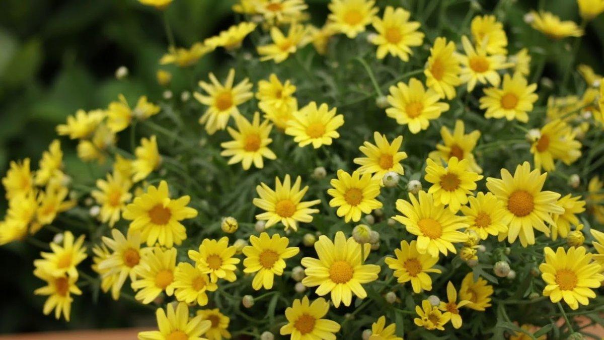 argyranthemum-frutescens-golden-butterfly-1