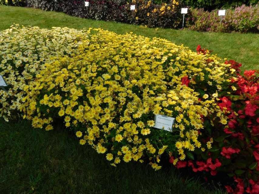 argyranthemum-frutescens-golden-butterfly-3