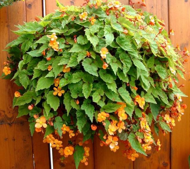 Бегония Сазерленда (Begonia sutherlandii) принадлежит к числу ампельных видов бегоний