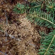 Снежное шютте, как и другие виды этой болезни, развивается при повышенной влажности, сырости