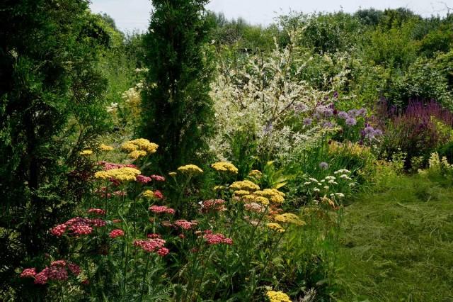 Тысячелистник из семян дает разноцветные соцветия