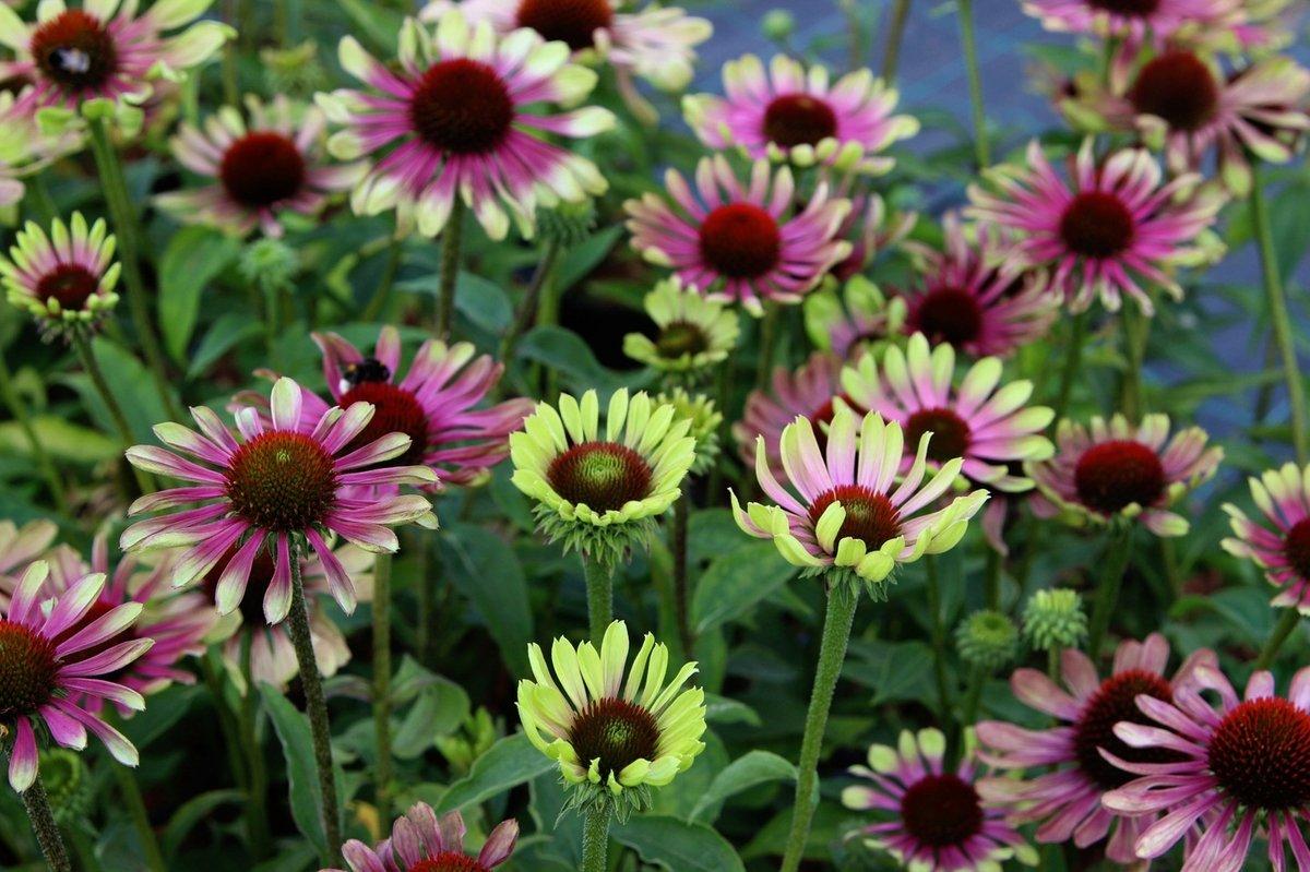 echinacea-purpurea-green-twister-1