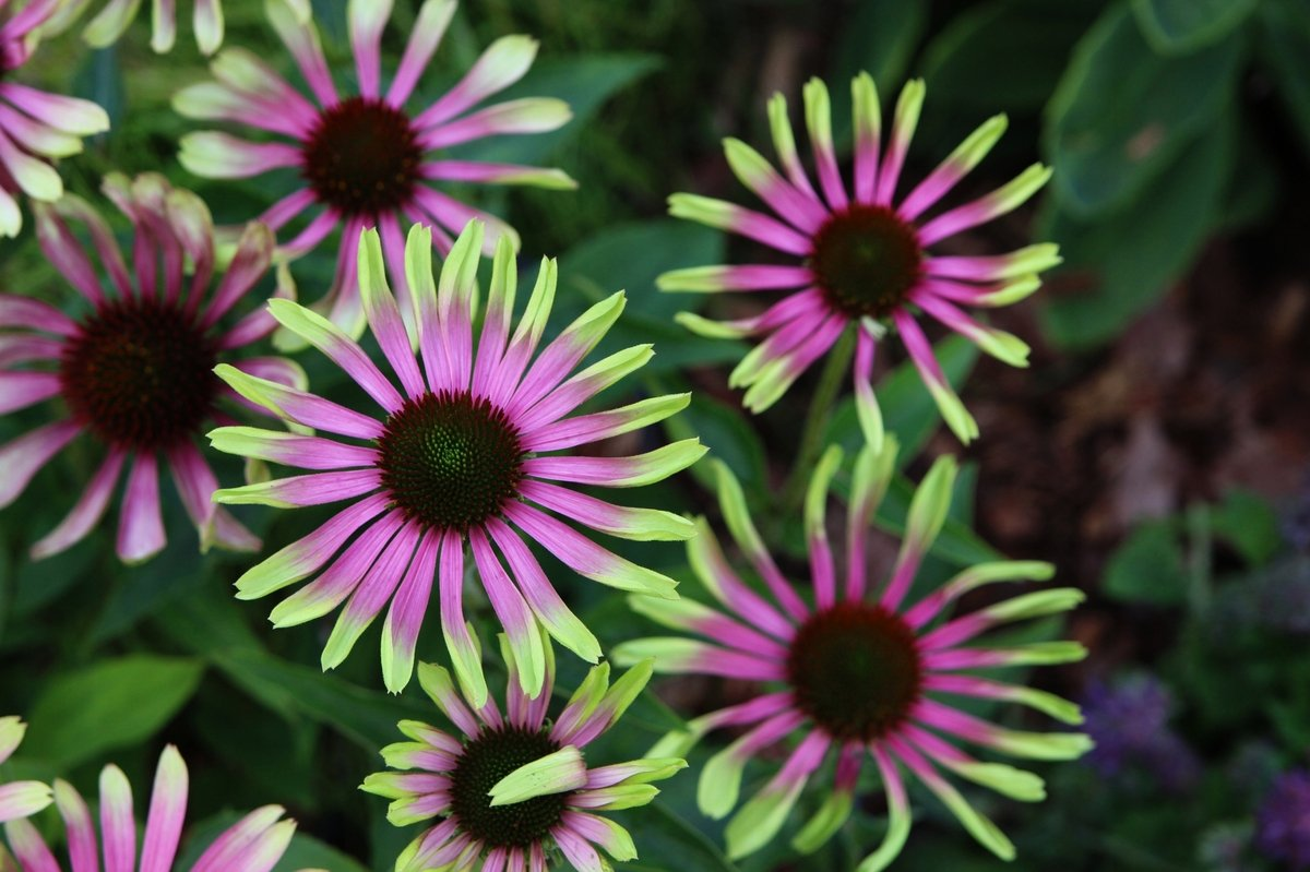 echinacea-purpurea-green-twister-2