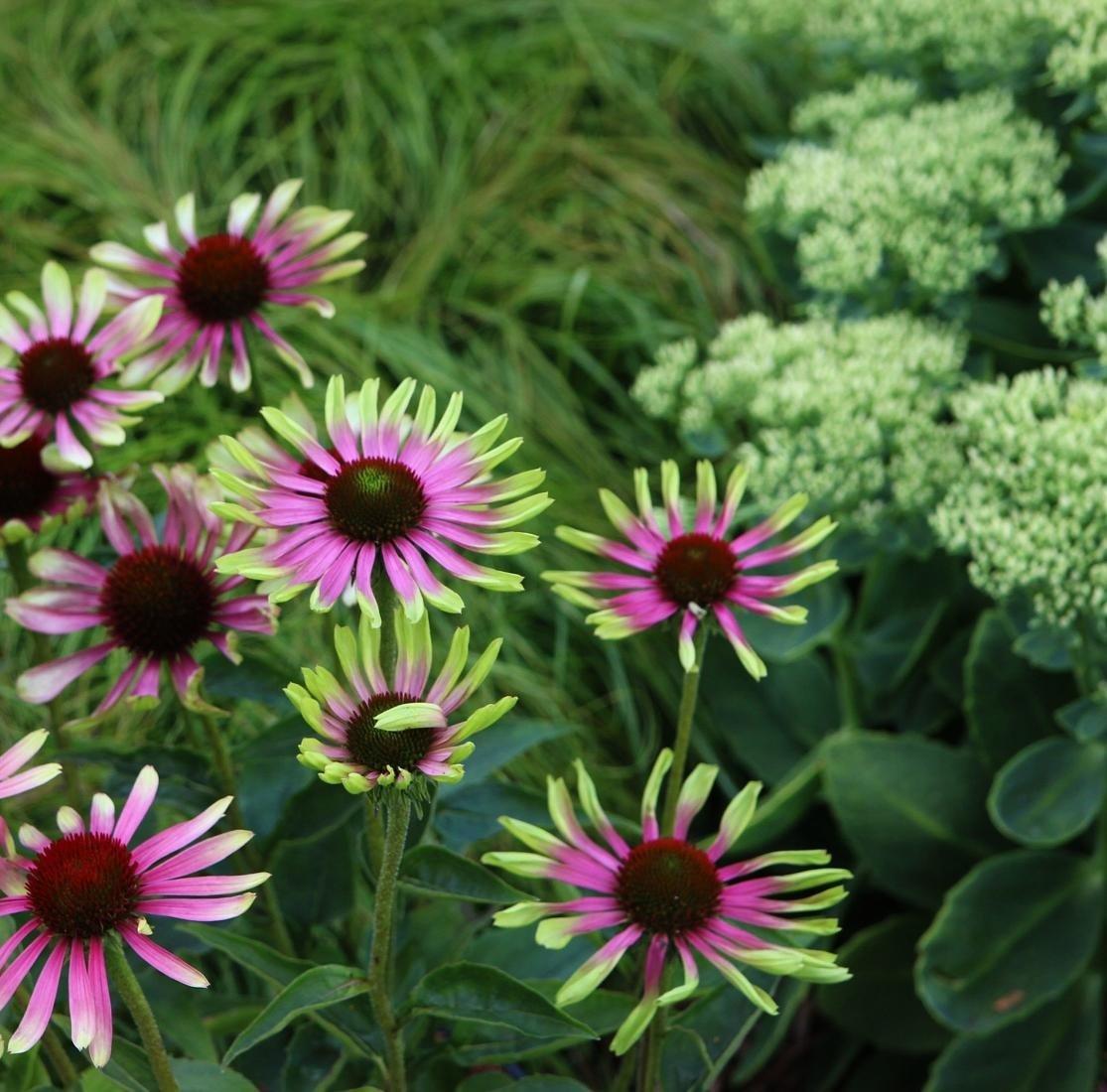 echinacea-purpurea-green-twister-3
