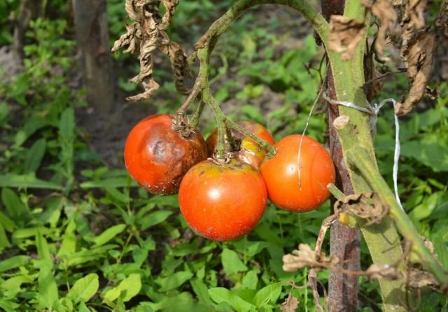 Плоды, поражённые фитофторой, не пригодны для использования, а растение гибнет