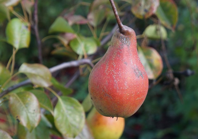 Груша «Яковлевская» на дереве