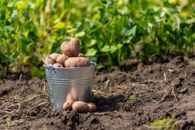 5 причин, почему я больше не сажаю картошку