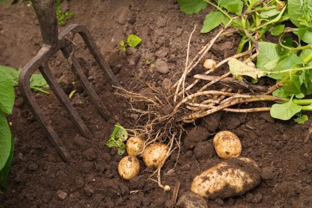 Из обычных огородных культур по трудозатратам у картофеля нет равных
