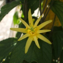 Пассифлора лимонная (Passiflora citrina)