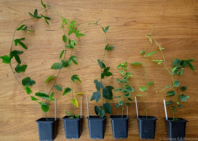 Комнатные, да и садовые пассифлоры размножают, в основном, вегетативно