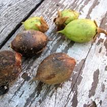 Полностью созревшие семена павловнии собраны в своеобразные коробочки тёмного цвета
