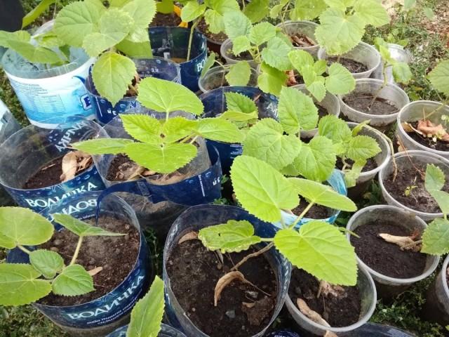 Сеянцы павловнии переносят на открытый воздух примерно через три месяца после посева