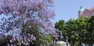 Павловния войлочная (Paulownia tomentosa)