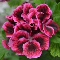 Пеларгония крупноцветковая (Королевская пеларгония - Pelargonium grandiflorum)