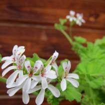 Пеларгония ароматнейшая (Пеларгония ушная, Pelargonium odoratissimum)