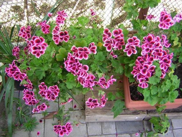 Пеларгония домашняя (Pelargonium domesticum)