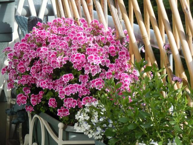 Цветки у пеларгоний редко распускаются по одному, цветет она пышно и длительно