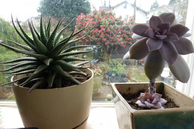 Не все комнатные растения одинаково требовательны к свету, но некоторые нормально развиваться могут только на южных подоконниках