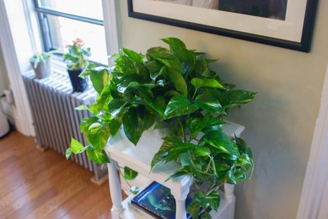 На время отопительного сезона комнатные растения нужно перенести подальше от батареи