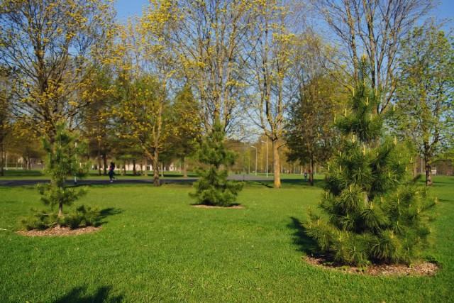 Сосна кедровая, или кедр сибирский (Pinus sibirica)