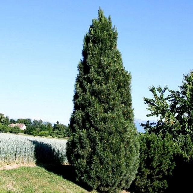 Сосна чёрная «Пирамидалис» (Pinus nigra Pyramidalis)
