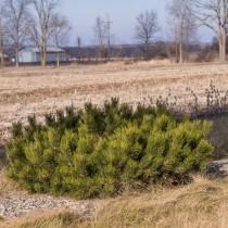 Горная сосна «Пумилио» (Pinus mugo Pumilio)