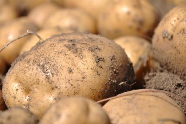 При выращивании в конусах картофель развивает мощную корневую систему, на которой образуется множество клубней