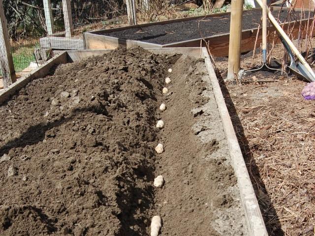 Даже на самых никудышных почвах можно вырастить отличный урожай картошки, высаживая её в высокие грядки