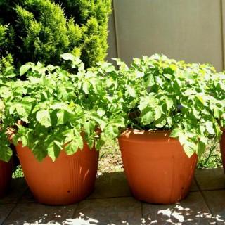 Небольшие ёмкости с картошкой сильно прогреваются солнцем, и это недостаток выращивания ее в контейнерах