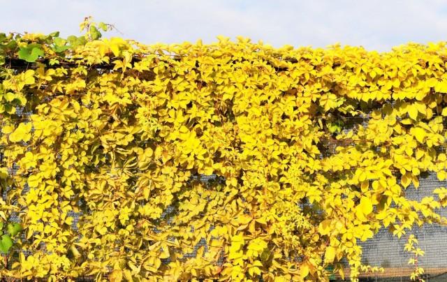 Дивичий виноград «Желтая стена» (Yellow Wall)