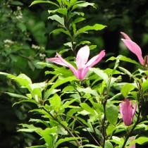 Бывают магнолии листопадные и вечнозелёные, бывают в виде небольших кустарников и высоких деревьев