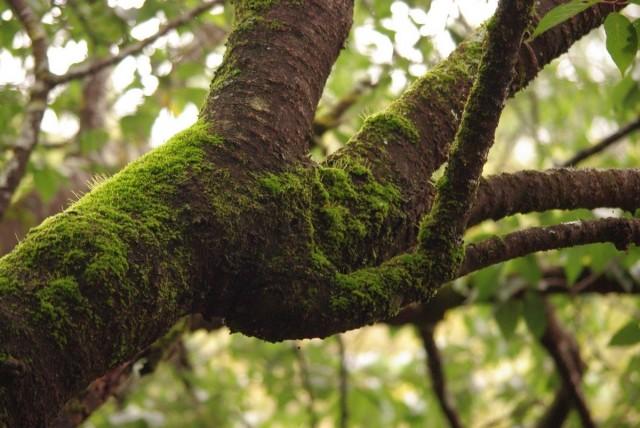 Мох на дереве - прекрасное укрытие для различных вредителей, личинок, бактерий и спор паразитирующих растений