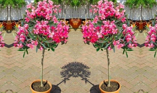 Олеандр можно сформировать деревцем