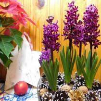 Пуансетия и гиацинты - отличная альтернатива новогодней ёлке