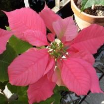 Пуансеттия 'Annet Pink'