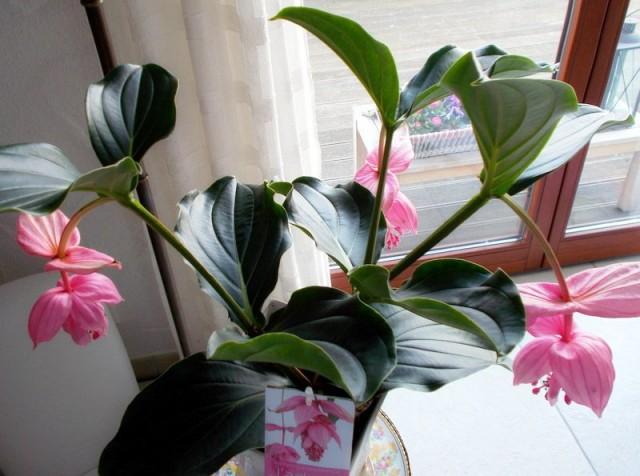 Мединилла великолепная (Medinilla magnifica)