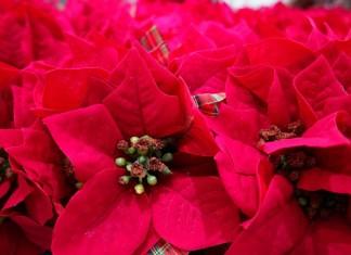 Пуансеттия – Рождественская или Вифлеемская звезда