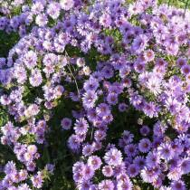 Симфиотрихум виргинский, или Астра виргинская (астра новобельгийская (Symphyotrichum novi-belgii, Michaelmas Daisy)