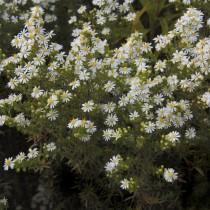 Симфиотрихум вересковый, или Астра вересковая (Symphyotrichum ericoides)