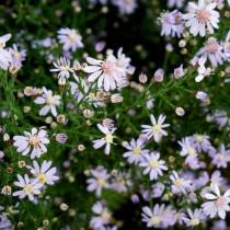 Симфиотрихум сердцелистный, или Астра сердцелистная (Symphyotrichum cordifolium)
