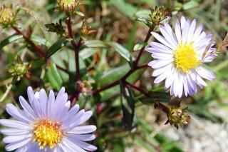 Симфиотрихум пунцовый, или Астра пунцовая (Symphyotrichum puniceum)