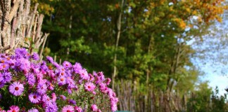 Американские астры в дизайне сада — виды и сорта, уход