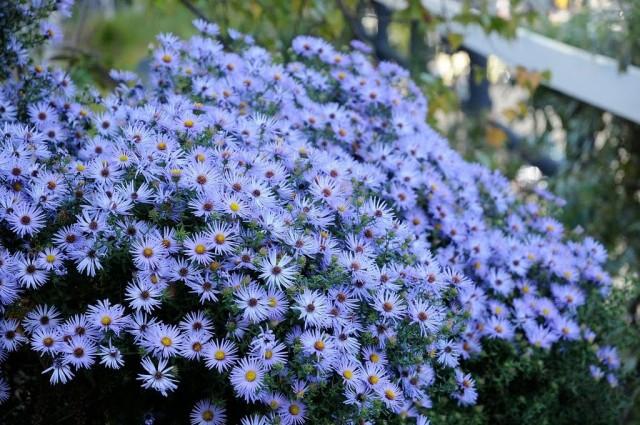 Американские астры хороши и в групповых посадках с другими растениями, и в сольных партиях