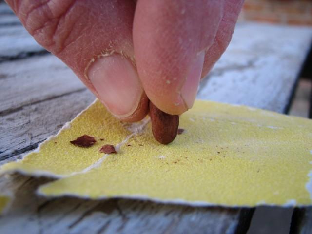 Для скарификации крупные семена можно потереть на напильнике, наждачной бумаге или даже пилочке для ногтей