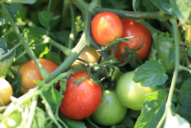 Сорт томатов «Санька»
