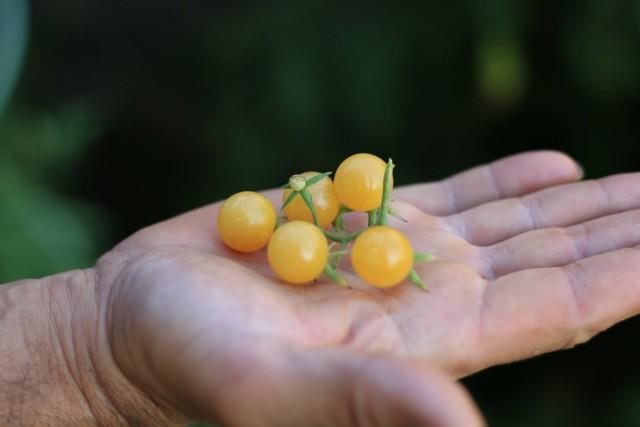 Сорт томатов «Белый черри»